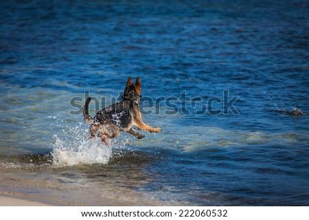 German Shepherd on the beach - stock photo