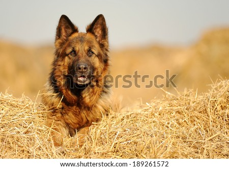 German Shepherd on the straw - stock photo