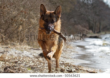German Shepherd playing by the lake - stock photo