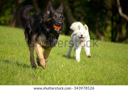 German Shepherd playing with a puppy