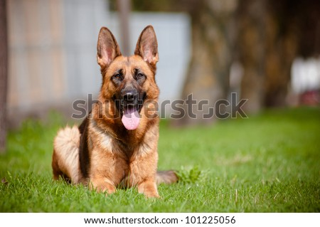 german shepherd portrait lying down in the sun - stock photo