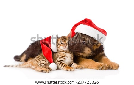 german shepherd puppy and bengal kitten with red hat. isolated on white background