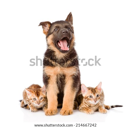 german shepherd puppy and bengal kittens looking at camera. isolated on white background