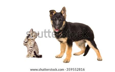 German Shepherd puppy and  playful kitten Scottish Straight, isolated on white background - stock photo