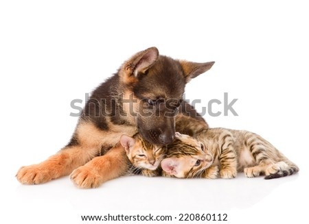 german shepherd puppy dog kisses bengal cats. isolated on white background - stock photo