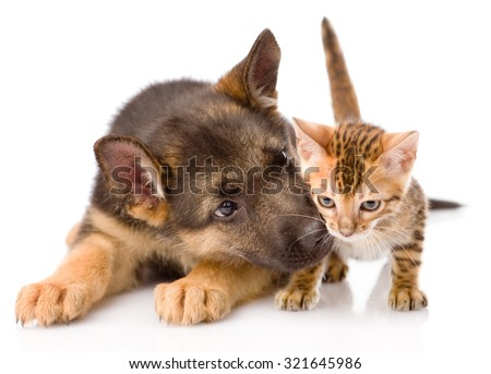 German shepherd puppy dog sniffs small bengal cat. isolated on white background - stock photo
