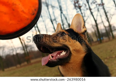 German Shepherd puppy focused on orange frisbee - stock photo