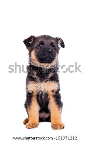 German shepherd puppy isolated on white background - stock photo