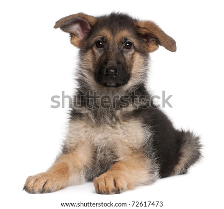 German Shepherd puppy, 4 months old, lying in front of white background - stock photo