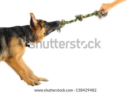 German Shepherd puppy playing 2 - stock photo