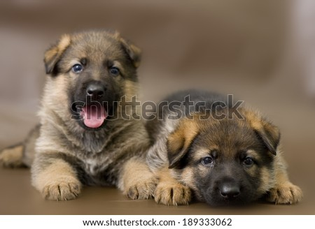 German shepherd puppy posing on a brown background - stock photo