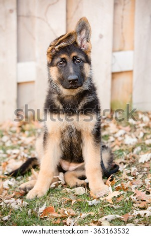 German Shepherd Puppy Sitting - This is an image of an adorable german shepherd puppy with floppy ears sitting in they yard. - stock photo