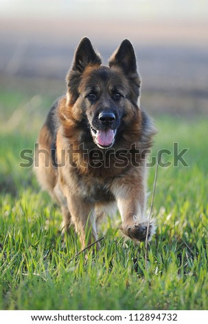 German Shepherd runs