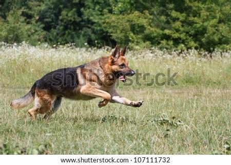 German Shepherd runs through the meadow - stock photo