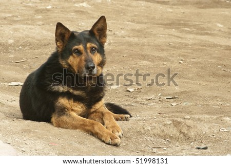 German shepherd sitting
