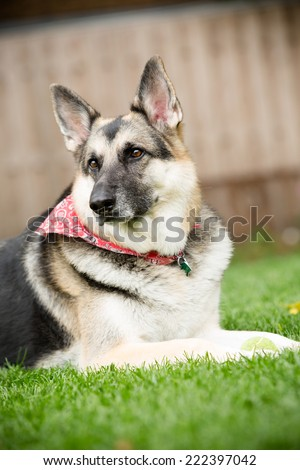German Shepherd - This is a shot of a German Shepherd Dog laying in the grass. - stock photo