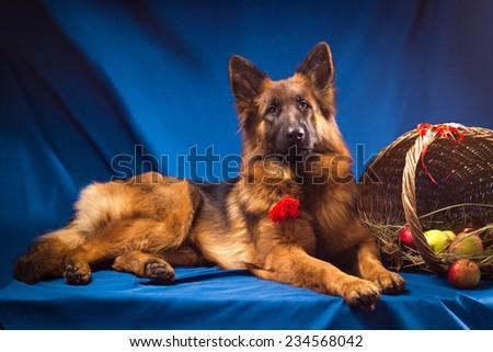 German shepherd with a wicker basket. Blue background - stock photo
