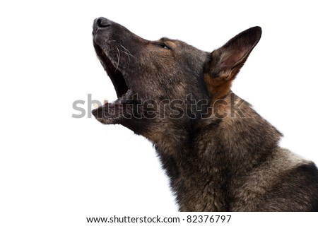 German shepherd with an open mouth - stock photo