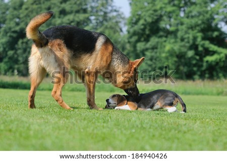 German Shepherd with beagle puppy body talk - stock photo