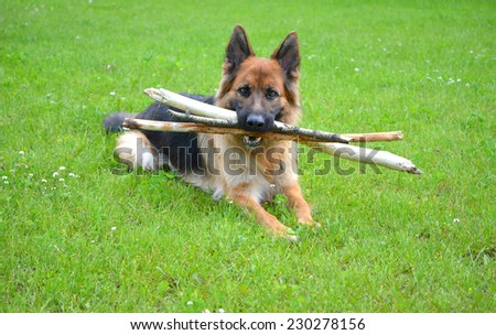 German Shepherd with stick - stock photo