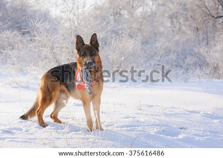 German Shepherd with toy in winter