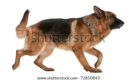 German Shepherd, 5 years old, walking in front of white background - stock photo