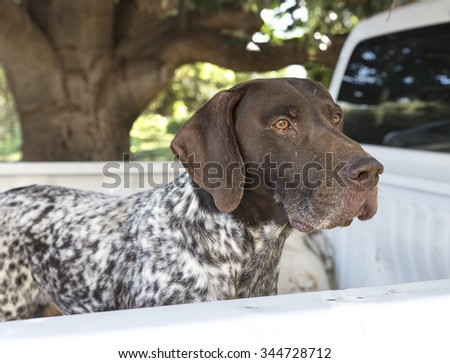 German Short haired Pointer Dog  - stock photo