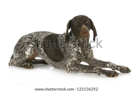 german short haired pointer laying down isolated on white background - stock photo
