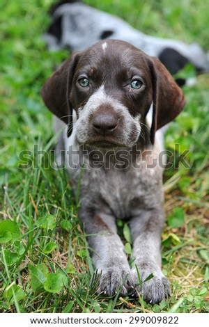 German Short Haired Pointer puppy laying on the grass - stock photo