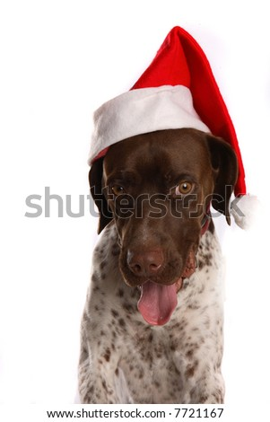 German short haired pointer wearing a Santa hat