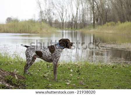 German Shorthaired Pointed Outside by Pond - stock photo