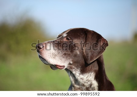 German Shorthaired Pointer a years(summer) portrait
