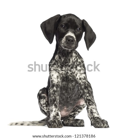 German Shorthair Pointer Stock Images, Royalty-Free Images ...