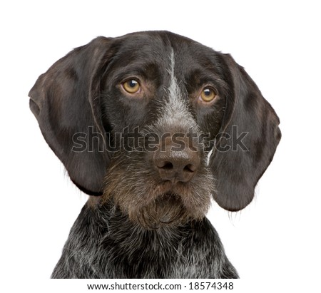 German Shorthaired Pointer (4 years) in front of a white background