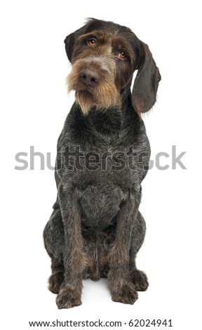 German shorthaired pointer, 6 years old, sitting in front of white background - stock photo