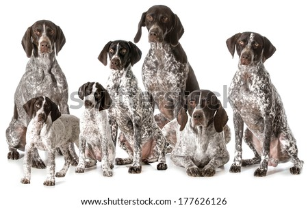 german shorthaired pointers isolated on white background - stock photo