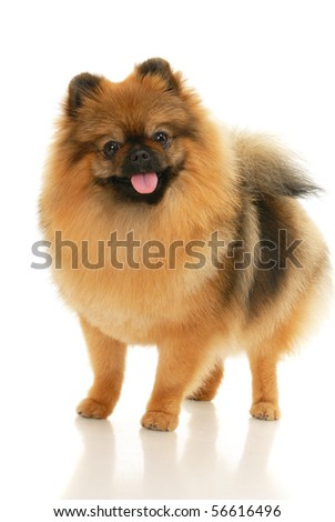 German Spitz dog on white background - stock photo