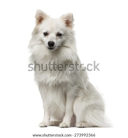 German Spitz (1 year old) in front of a white background - stock photo