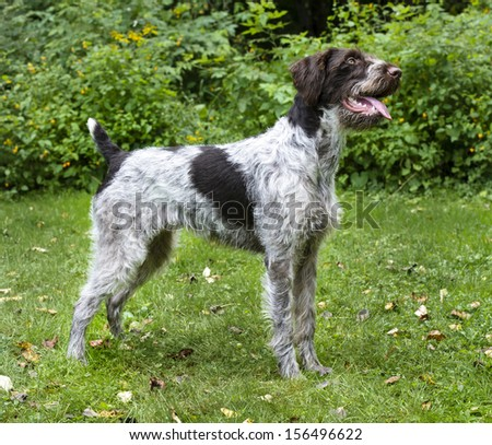 German Wirehaired Pointer - stock photo