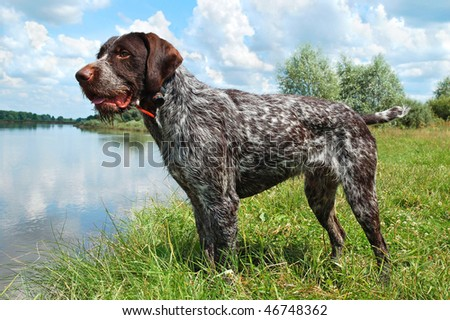 German wirehaired pointer standing on the river - stock photo