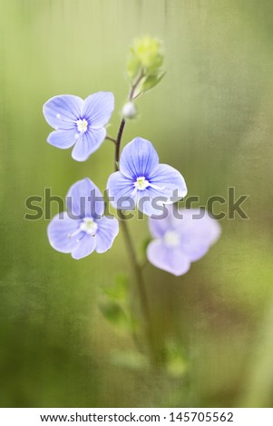 Germander Speedwell (Veronica chamaedrys), shallow DOF - stock photo