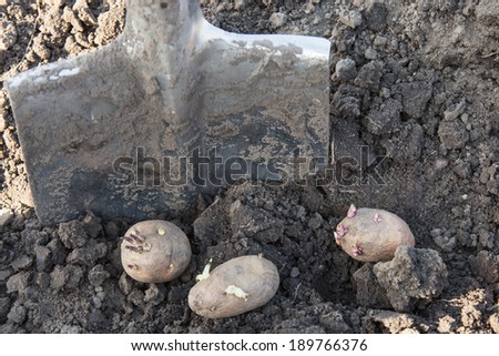 Germinated potatoes and shovel in the garden closeup - stock photo