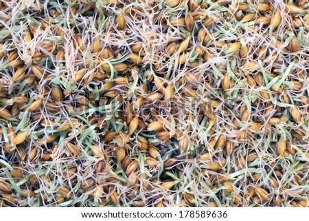 germinated seeds of barley - malt - stock photo