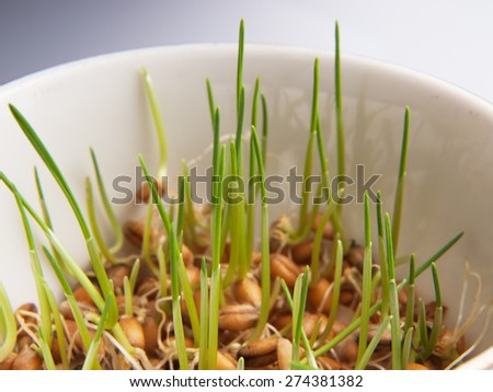 Germinating wheat seeds in a bowl - stock photo