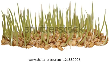 germination of wheat isolated on white background,  with clipping path - stock photo