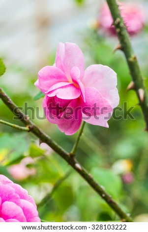 Gertrude Jekyll Rose or Pink Rose in Garden, Thailand. - stock photo