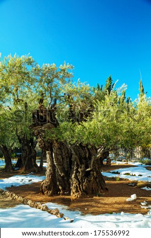 Gethsemane garden in Jerusalem with olives covered with snow - stock photo