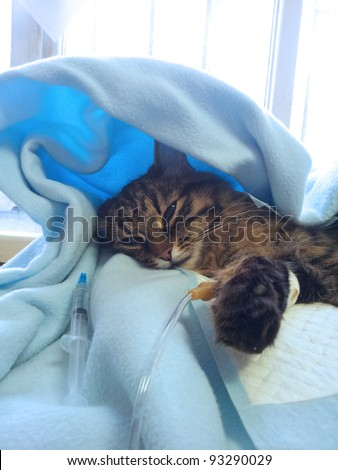 getting sick cat on a drip after surgery operation in veterinary clinic - stock photo