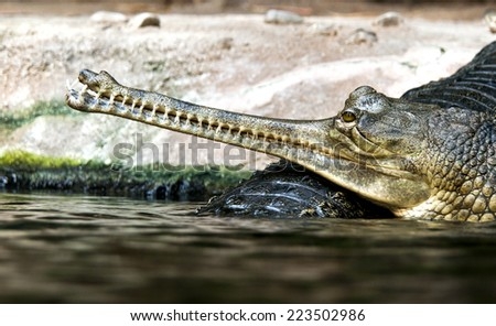 Gharials (called also gavial and fish-eating crocodile) - stock photo