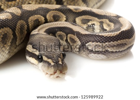 Ghost black pastel ball python (Python regius) isolated on white background.